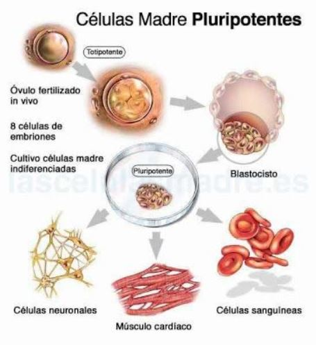 celulas madre pluripotentes